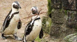 pinguins-klein-dantzig